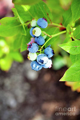 Photograph - Blueberries by Kati Finell