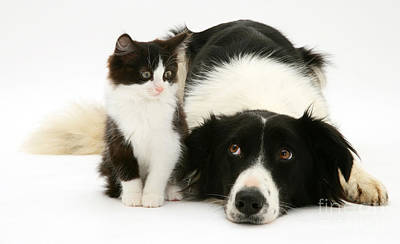 Border Collie And Kitten Art Print by Jane Burton