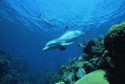 Bottlenose Dolphin Tursiops Truncatus Print by Konrad Wothe