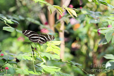 Photograph - Zebra Longwings Butterfly by Richard J Thompson