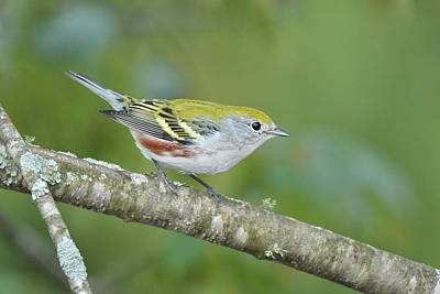 Photograph - Chestnut-sided Warbler by Alan Lenk