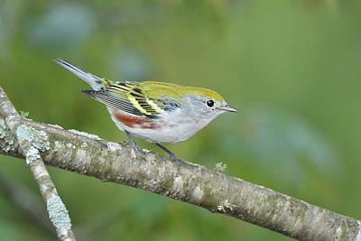 Photograph - Chestnut-sided Warbler by Alan Lenk