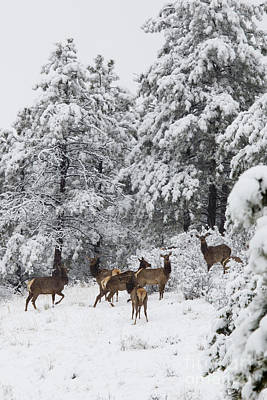 Steve Krull Royalty-Free and Rights-Managed Images - Elk in Deep Snow in the Pike National Forest by Steve Krull