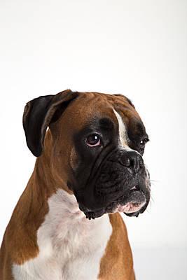 Boxer Puppy Mixed Media - Fawn-colored Boxer by Boyan Dimitrov