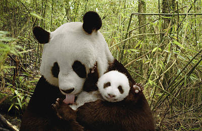 Digital Enhancement Photograph - Giant Panda Ailuropoda Melanoleuca by Katherine Feng