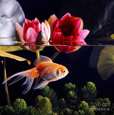 Goldfish Art Print by Jane Burton