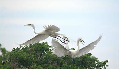 Animal Watercolors Juan Bosco - Great Egrets Mating Dispute Series by Roy Williams