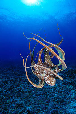 Sealife Art Photograph - Hawaii, Day Octopus by Dave Fleetham - Printscapes