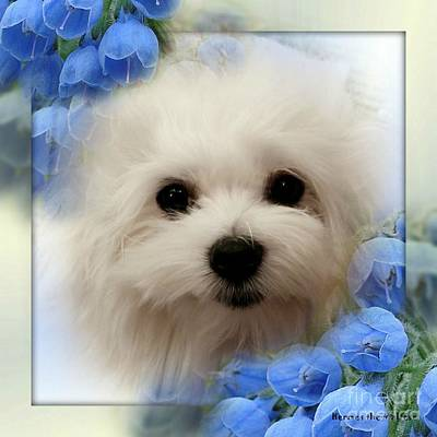 Dog Photograph - Hermes The Maltese by Morag Bates