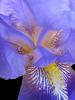 Iris Art Print by Michele Caporaso