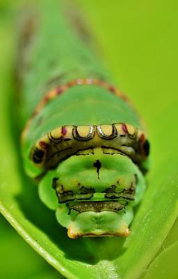 Papilio Thoas Photograph - King Page Swallowtail Caterpillar by Werner Lehmann