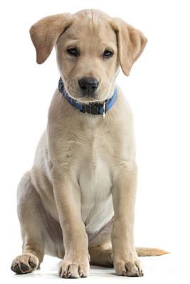 Photograph - Labrador Puppy by Gunnar Orn Arnason