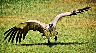 Photograph - large Cape vulture by Werner Lehmann