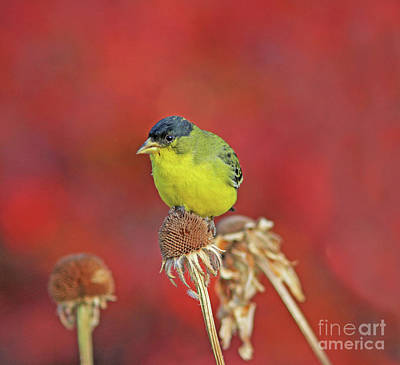 Red Photograph - Lesser Goldfinch by Gary Wing