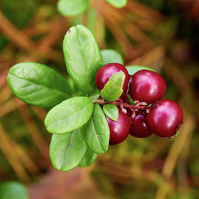 Photograph - Lingonberry by Jouko Lehto
