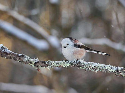 Photograph - Long-tailed Tit by Jouko Lehto