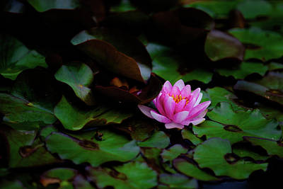 1-war Is Hell Royalty Free Images - Lotus flower Royalty-Free Image by Hristo Shanov