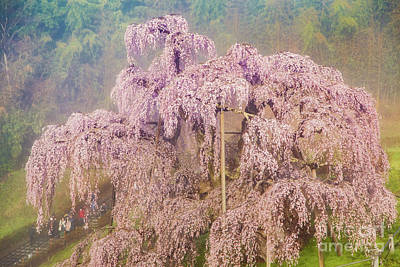 Photograph - Miharu Takizakura Weeping Cherry09 by Tatsuya Atarashi
