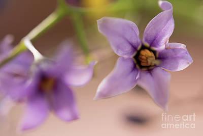 Solanum Dulcamara Photograph - Purple Wildflower Abstract by Michelle Himes