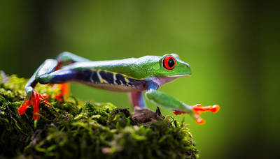 Panama Frog Photograph - red eyed tree frog Costa Rica by Dirk Ercken