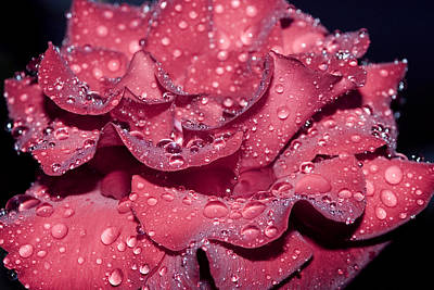 Photograph - Rose by Avril Christophe