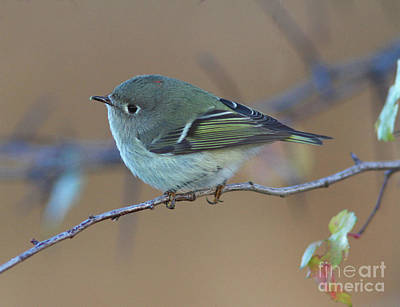 Yellow Photograph - Ruby-crowned Kinglet by Gary Wing