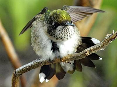Anne Geddes Collection - Aggression - Ruby-throated Hummingbird  by Cindy Treger