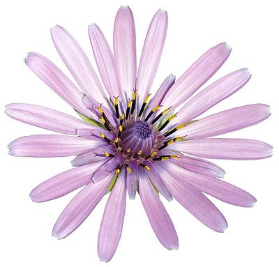 Christmas Patents Rights Managed Images - Salsify flower Royalty-Free Image by George Atsametakis