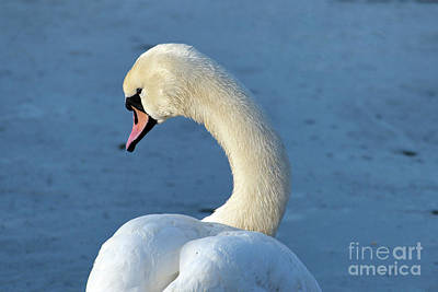 Photograph - Swan Portrait by Odon Czintos