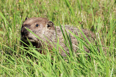 Photograph - Woodchuck Calverton New York by Bob Savage