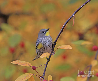 Red Photograph - Yellow-rumped Warbler by Gary Wing