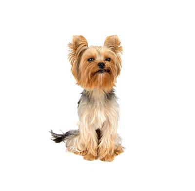Looking At Camera Mixed Media - Yorkshire Terrier by Boyan Dimitrov
