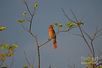 Photograph - 90- Cardinal Beauty by Joseph Keane