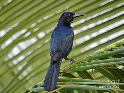 Photograph - 98- Grackle by Joseph Keane