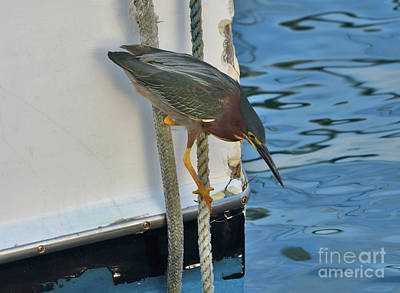 Photograph - 91- Green Heron Fishing by Joseph Keane