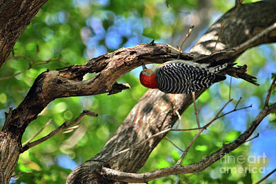 Photograph - 94- Red-bellied Woodpecker by Joseph Keane