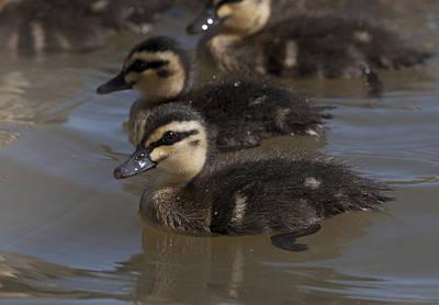 Photograph - Duckling by Masami Iida