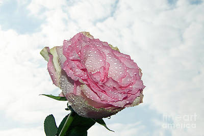 Photograph - Pink Rose by Elvira Ladocki