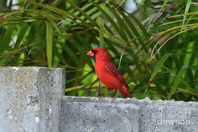 Photograph - 93- Cardinal by Joseph Keane