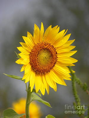 #933 D960 Bring On The Sunshine Colby Farm Sunflowers Newbury Massachusetts Art Print by Robin Lee Mccarthy Photography