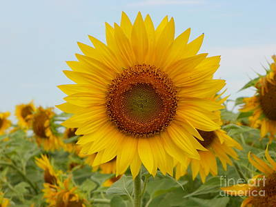 Negative Space - #933 D963 You are my Sunshine Colby Farm Sunflowers by Robin Lee Mccarthy Photography