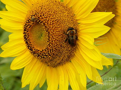 My Bed Photograph - #933 D966 Honey Do Checklist Colby Farm Sunflowers by Robin Lee Mccarthy Photography