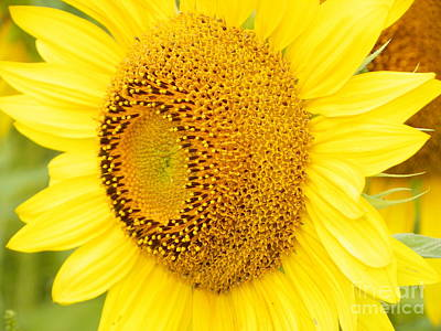 #933 D967 You Brighten My Day Colby Farm Sunflowers Original
