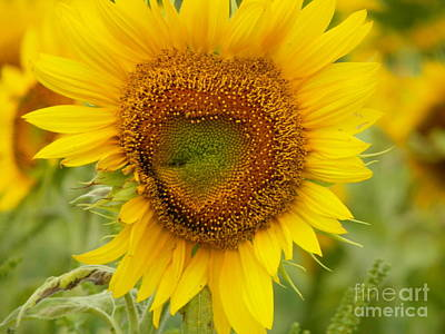 My Bed Photograph - #933 D969 Colby Farm Sunflowers by Robin Lee Mccarthy Photography
