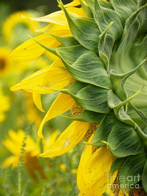 My Bed Photograph - #933 D973 On Looking Colby Farm Sunflowers by Robin Lee Mccarthy Photography
