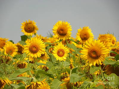 #933 D977 On Looking Colby Farm Sunflowers Original