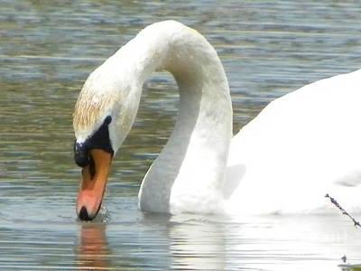 My Bed Photograph - #934 D994 Swan Kenoza Lake Haverhill Massachusetts by Robin Lee Mccarthy Photography
