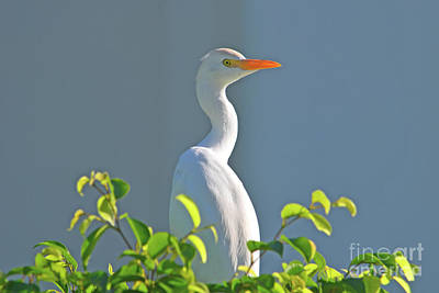 Photograph - 95- Cattle Egret by Joseph Keane