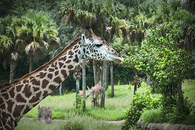 Abstract Animalia Royalty Free Images - 9555- Giraffe Royalty-Free Image by David Lange