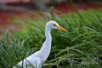 Photograph - 96- Cattle Egret by Joseph Keane